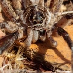 Tasmanicosa sp. (genus) (Unidentified Tasmanicosa wolf spider) at Mulligans Flat - 22 Jan 2017 by CedricBear