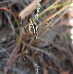 Argiope protensa (Long-tailed Argiope) at Mount Painter - 19 Jan 2017 by CathB