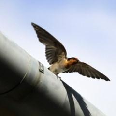 Hirundo neoxena (Welcome Swallow) at Namadgi National Park - 27 Nov 2015 by Alison Milton