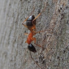 Camponotus consobrinus (Banded sugar ant) at Conder, ACT - 18 Dec 2016 by michaelb