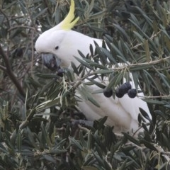 Cacatua galerita (Sulphur-crested Cockatoo) at Conder, ACT - 20 May 2016 by michaelb