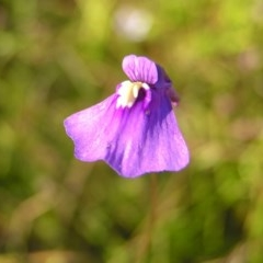 Utricularia dichotoma (Fairy Aprons, Purple Bladderwort) at Mount Taylor - 29 Dec 2010 by MatthewFrawley