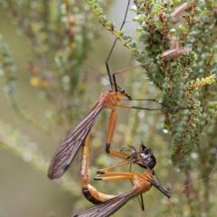 Harpobittacus australis (Hangingfly) at Namadgi National Park - 24 Jan 2017 by Judith Roach