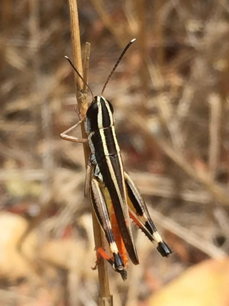 Macrotona australis at Wandiyali-Environa Conservation Area - 24 Jan 2017