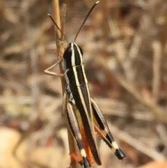 Macrotona australis (Common Macrotona Grasshopper) at Wandiyali-Environa Conservation Area - 24 Jan 2017 by Wandiyali