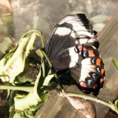 Papilio aegeus (Orchard Swallowtail) at Higgins, ACT - 13 May 2011 by AlisonMilton