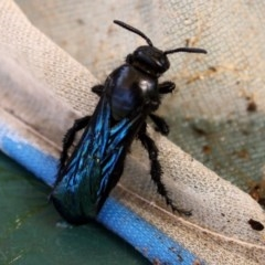 Austroscolia soror (Blue-winged flower wasp) at Higgins, ACT - 26 Feb 2011 by Alison Milton