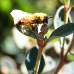 Apis mellifera (European honey bee) at Higgins, ACT - 3 Mar 2006 by Alison Milton