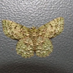 Hypodoxa muscosaria (Textured Emerald) at Higgins, ACT - 27 Dec 2005 by Alison Milton
