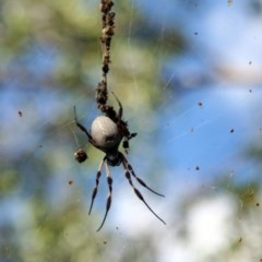Nephila edulis (Golden orb weaver) at Higgins, ACT - 25 Mar 2006 by Alison Milton