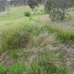 Carex appressa at Wanniassa Hill - 29 Oct 2016