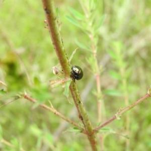 Lehtinelagia sp. (genus) at Wanniassa Hill - 29 Oct 2016