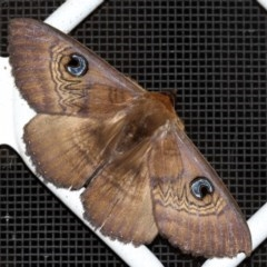 Dasypodia selenophora (Southern old lady moth) at Higgins, ACT - 25 Jan 2017 by Alison Milton