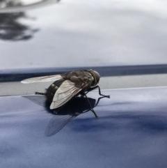 Rutilia (Donovanius) sp. (genus & subgenus) (A Bristle Fly) at Commonwealth & Kings Parks - 26 Jan 2017 by Rachel