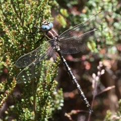 Notoaeschna sagittata (Southern Riffle Darner) at Namadgi National Park - 17 Jan 2016 by HarveyPerkins