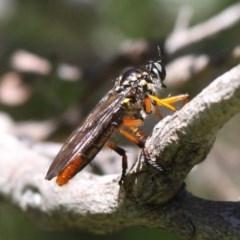 Aplestobroma avidum (Robber fly) at Gibraltar Pines - 22 Jan 2017 by HarveyPerkins