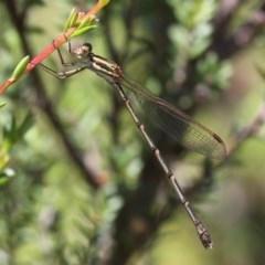 Austrolestes analis (Slender Ringtail) at Gibraltar Pines - 22 Jan 2017 by HarveyPerkins