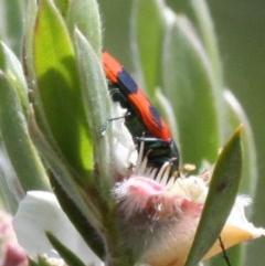 Castiarina sp. (genus) (Unidentified Castiarina jewel beetle) at Namadgi National Park - 26 Dec 2016 by HarveyPerkins