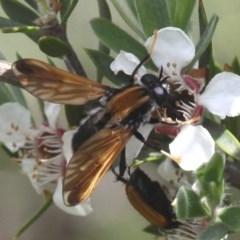 Pelecorhynchus fulvus (Orange cap-nosed fly) at Namadgi National Park - 26 Dec 2016 by HarveyPerkins