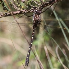 Austroaeschna inermis (Whitewater Darner) at Namadgi National Park - 16 Jan 2016 by HarveyPerkins