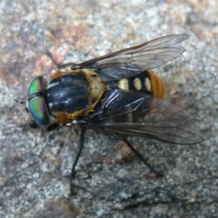 Scaptia patula (March fly) at Kambah, ACT - 27 Jan 2010 by HarveyPerkins