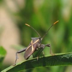 Mictis profana (Crusader bug) at Red Hill Nature Reserve - 22 Jan 2017 by Ratcliffe
