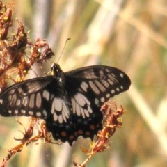 Papilio anactus (Dainty Swallowtail) at Red Hill Nature Reserve - 22 Jan 2017 by Ratcliffe