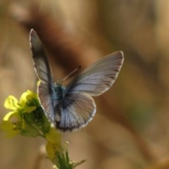 Zizina otis (Common Grass-blue) at Red Hill Nature Reserve - 22 Jan 2017 by Ratcliffe
