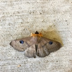 Dasypodia selenophora (Southern old lady moth) at Watson, ACT - 29 Jan 2017 by salthorse