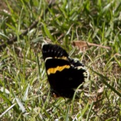 Eutrichopidia latinus (Yellow-banded Day-moth) at ANBG - 28 Jan 2017 by JudithRoach