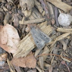 Agrotis infusa (Bogong Moth, Common Cutworm) at Commonwealth & Kings Parks - 22 Jan 2017 by JanetRussell