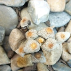 Coprinellus etc. (An Inkcap) at Reid, ACT - 24 Jan 2017 by JanetRussell