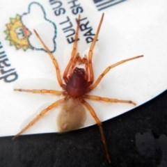 Dysdera crocata (Slater-eating Spider) at Higgins, ACT - 23 Jan 2017 by Alison Milton