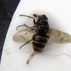 Helina sp. (genus) (Muscid fly) at Higgins, ACT - 23 Jan 2017 by Alison Milton
