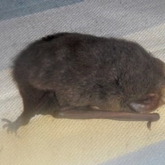 Nyctophilus sp. (A long-eared bat) at Higgins, ACT - 18 May 2013 by Alison Milton