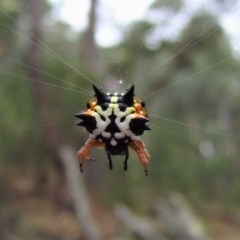 Austracantha minax (Christmas Spider, Jewel Spider) at Aranda Bushland - 24 Jan 2017 by CathB