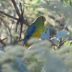Neophema pulchella (Turquoise Parrot) at Namadgi National Park - 28 Jan 2017 by OllieOrgill