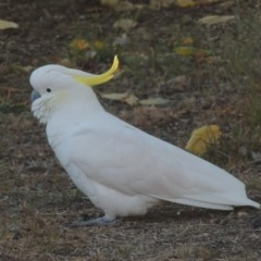 Cacatua galerita (Sulphur-crested Cockatoo) at Conder, ACT - 10 May 2016 by michaelb