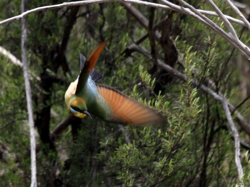 Merops ornatus at Gigerline Nature Reserve - 22 Oct 2016