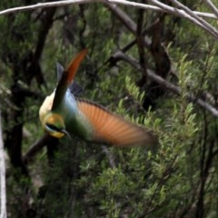 Merops ornatus (Rainbow Bee-eater) at Gigerline Nature Reserve - 21 Oct 2016 by Alison Milton
