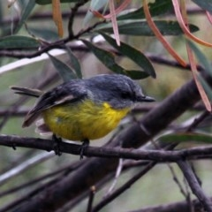 Eopsaltria australis (Eastern Yellow Robin) at Gigerline Nature Reserve - 21 Oct 2016 by Alison Milton