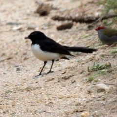 Rhipidura leucophrys (Willie Wagtail) at Gigerline Nature Reserve - 21 Oct 2016 by Alison Milton