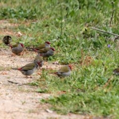Neochmia temporalis (Red-browed Finch) at Gigerline Nature Reserve - 21 Oct 2016 by Alison Milton