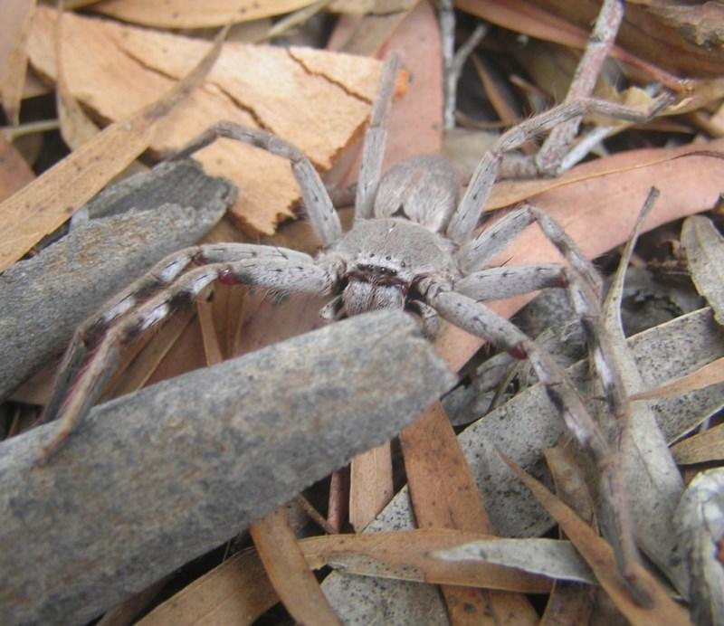Isopeda sp. (genus) at Kambah, ACT - 1 Feb 2017
