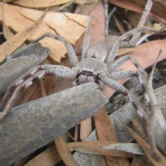 Isopeda sp. (genus) (Huntsman Spider) at Kambah, ACT - 1 Feb 2017 by MatthewFrawley