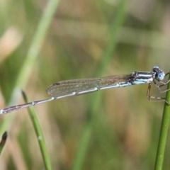 Austrolestes analis (Slender Ringtail) at Duffy, ACT - 2 Apr 2016 by HarveyPerkins