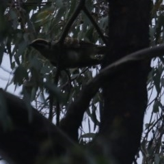 Eudynamys orientalis (Eastern Koel) at O'Connor, ACT - 31 Jan 2017 by ibaird