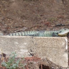 Intellagama lesueurii (Eastern Water Dragon) at Cotter Reserve - 1 Feb 2017 by Mike
