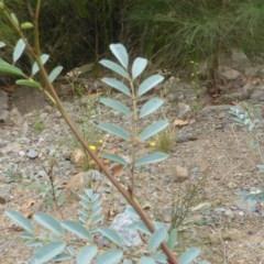 Indigofera australis subsp. australis (Australian Indigo) at Cotter Reserve - 1 Feb 2017 by Mike