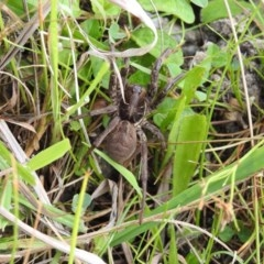 Tasmanicosa sp. (genus) (Unidentified Tasmanicosa wolf spider) at Lower Cotter Catchment - 2 Feb 2017 by Qwerty